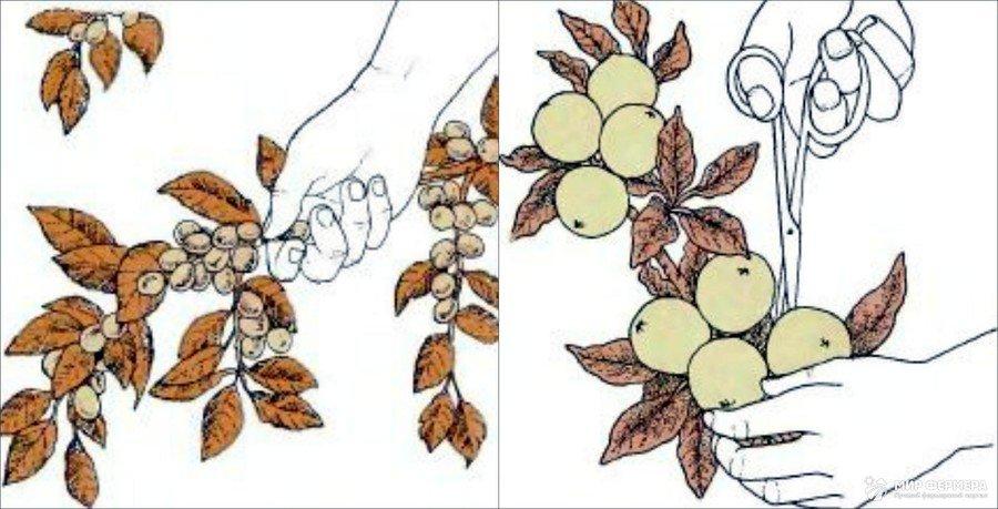 Удаление плодов сливы
