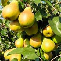 Как правильно ухаживать за грушей весной: ее сорта и правила выращивания