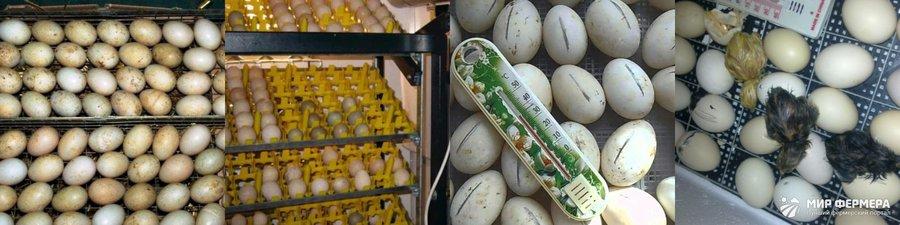 Инкубация утиных яиц в домашних условиях