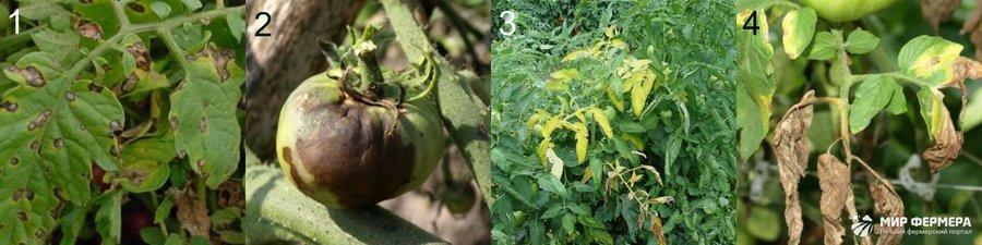 Болезни томатов в теплице фото