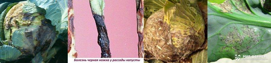 Болезни капусты в теплице фото