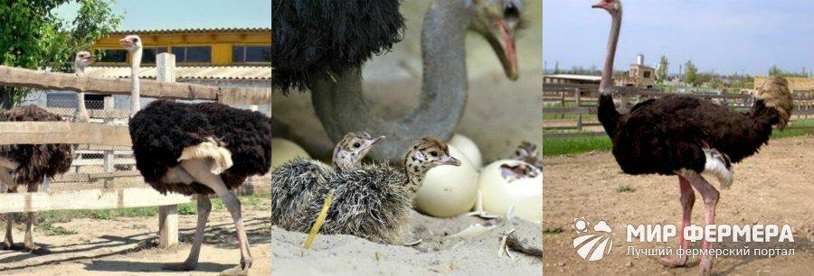 как содержать страусов