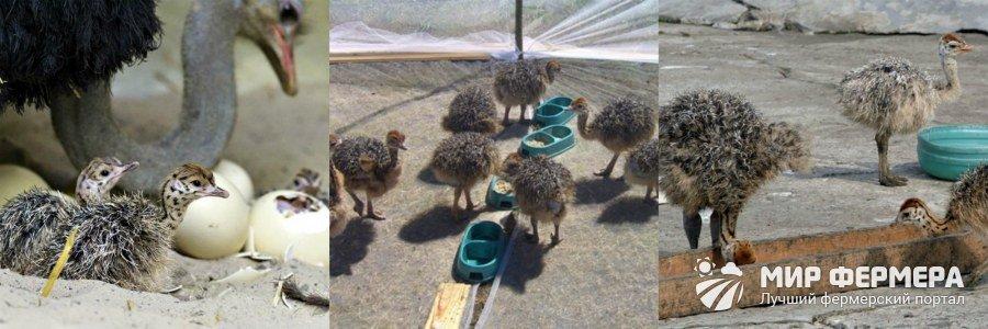 Птенцы страуса выращивание и уход