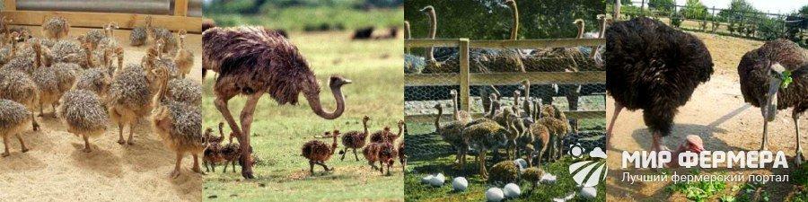 Разведение страусов на даче