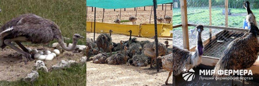 Выращивание страусов эму в домашних условиях