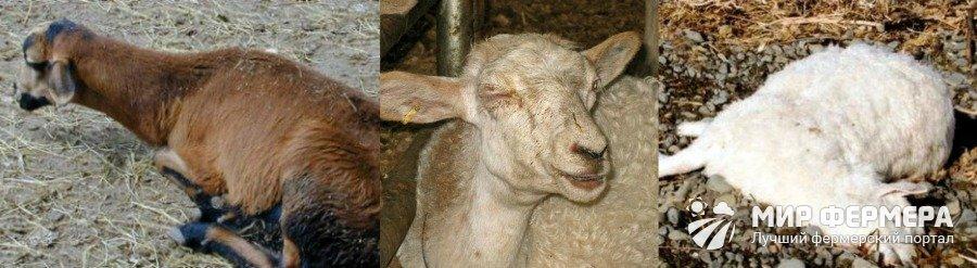 Признаки пищевого отравления у овец