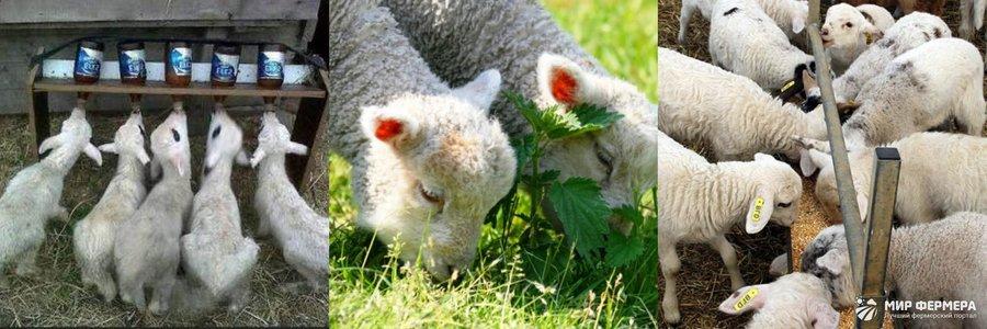 Содержание и кормление овец в домашних условиях