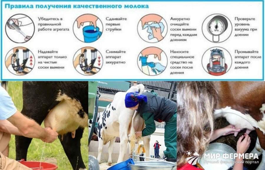 правила машинного доения коров картинки чтоб слушались всегда