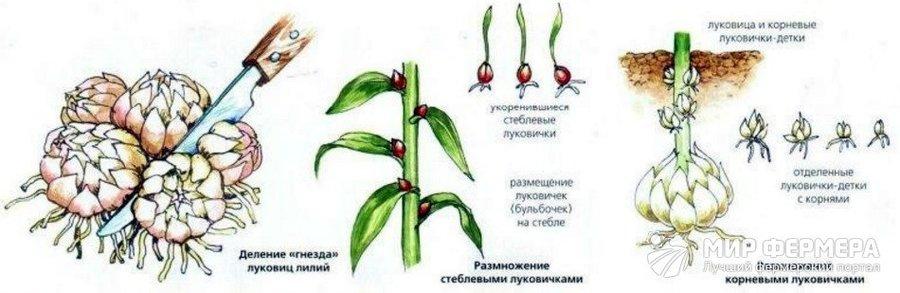 Выращивание лилий из чешуек и семян на продажу весной и осенью. Размножение лилий чешуйками летом, в августе, осенью