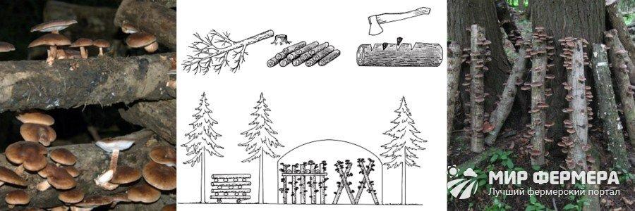 Выращивание шиитаке на пнях