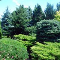 Хвойные растения фото с названиями и описанием