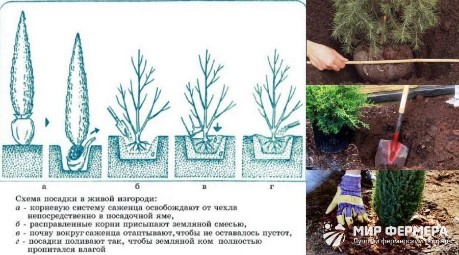 Как сажать хвойные деревья