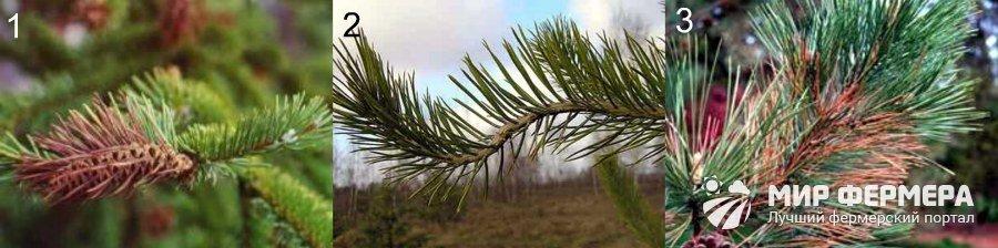 Виды ржавчины на хвойных растениях