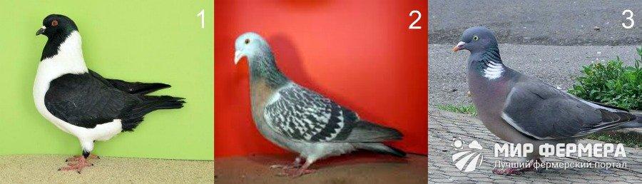 Мясные породы голубей фото
