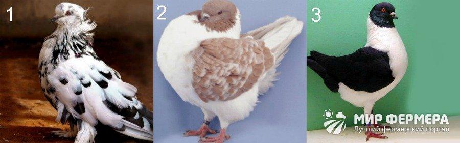Куриные породы голубей