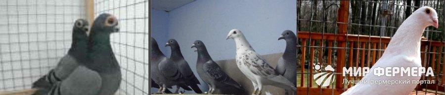 Бельгийские выставочные голуби фото
