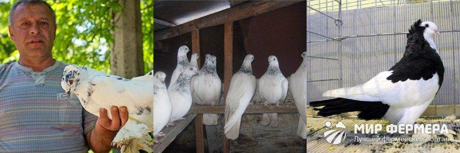 Порода голубей венгры