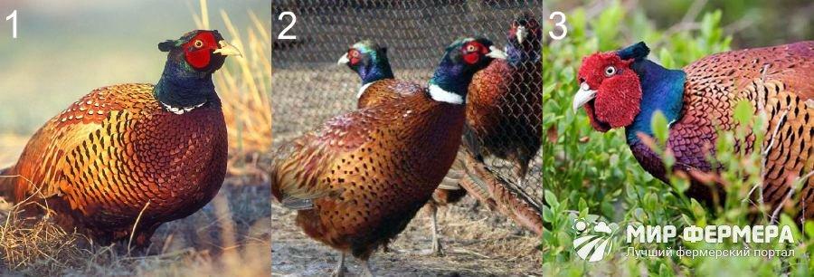Породы фазанов для домашнего разведения