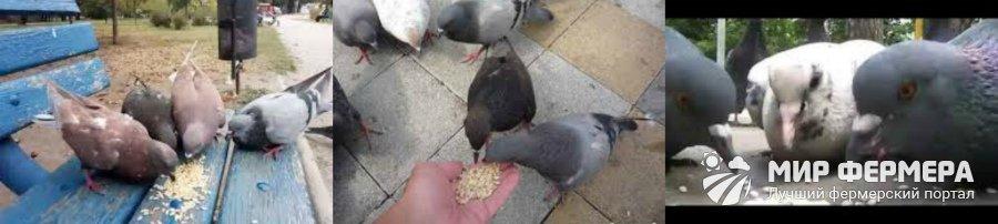 Кормление голубей перловкой