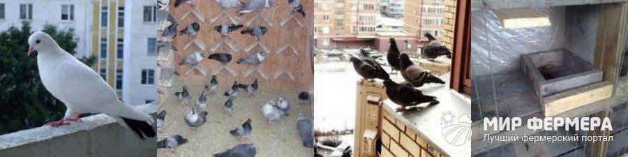 Содержание голубей на балконе