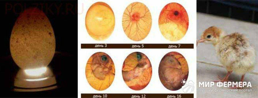 Развитие зародыша в яйце