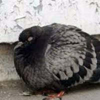 Орнитоз у голубей симптомы и лечение