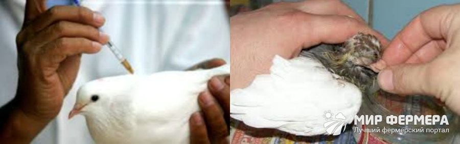 Вакцинация голубей против болезней