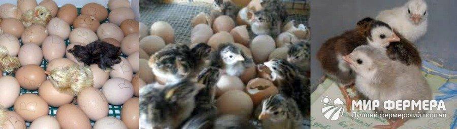 Вывод птенцов цесарки в инкубаторе