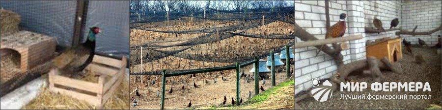 Разведение и содержание фазанов в домашних условиях