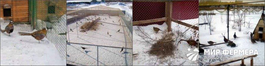 Содержание фазанов зимой