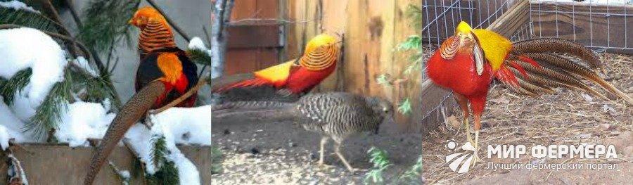 Золотой фазан содержание в домашних условиях