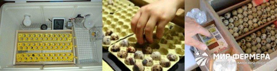 Как закладывать перепелиные яйца в инкубатор