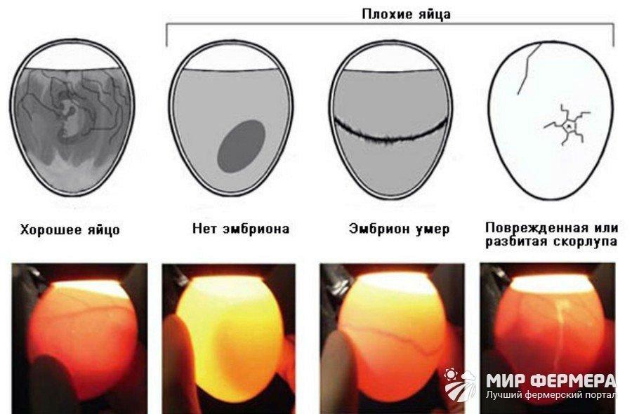 Овоскопирование яиц дефекты
