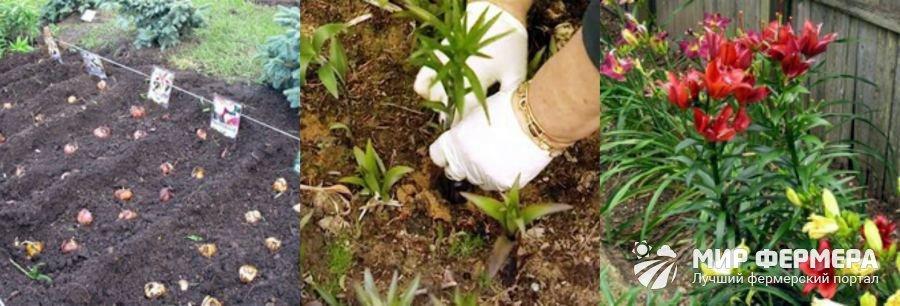 Можно ли сажать тюльпаны весной? Цветы Дача 48