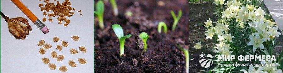 Как вырастить лилию из семян