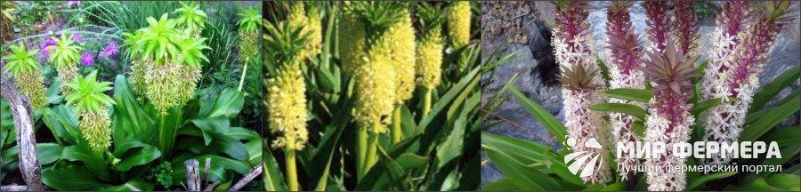 Ананасная лилия фото и описание