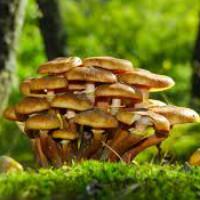Грибы опята – фото и описание, виды съедобных и ложных опят, где растут и как выглядят