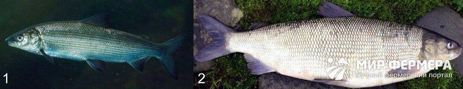 Какую рыбу лучше выбрать для пруда?