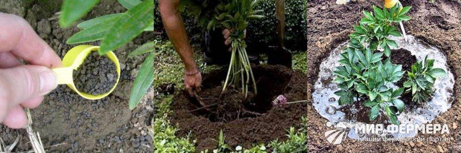 Удобрения осенью для пионов