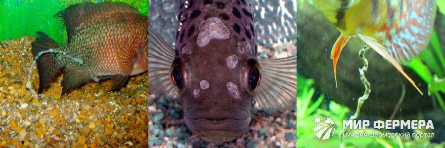 Гексамитоз рыб симптомы
