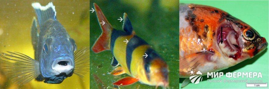 Колумнариоз у рыб лечение