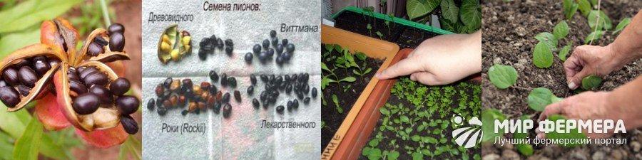 Размножение пиона семенами