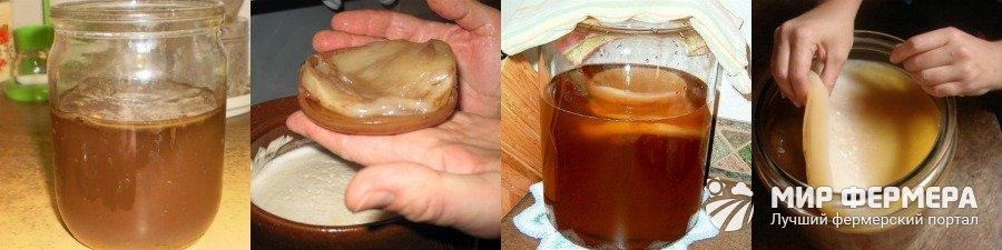 Чайный гриб как вырастить