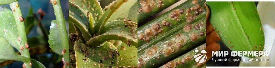 Щитовка вредитель комнатных растений