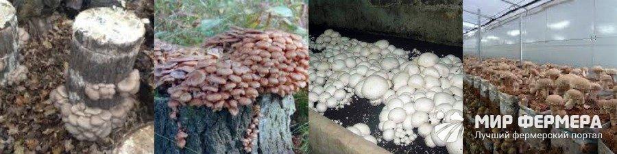 Как вырастить грибы дома своими руками