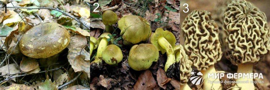 Условно-съедобные грибы с фото и описанием