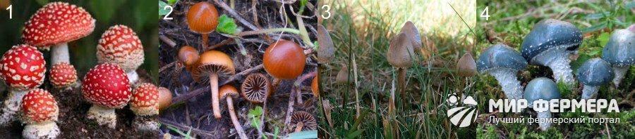 Виды галлюциногенных грибов