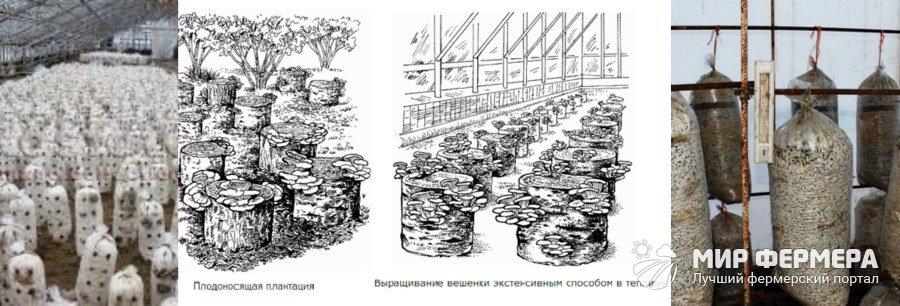 Выращивание вешенок в теплице