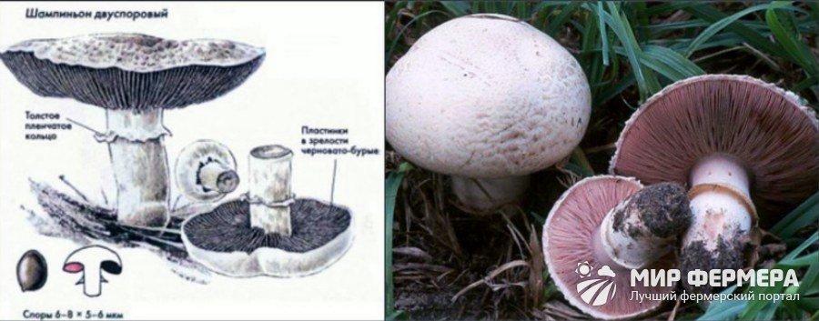 Как выглядит съедобный шампиньон