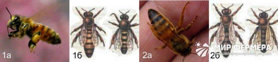 Какую породу пчел выбрать